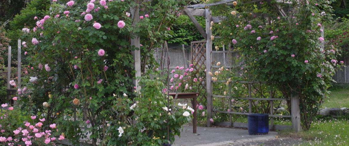 Our English roses